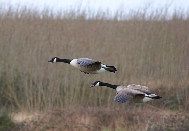 Par de gansos canadenses em um campo de grama alta e seca, voando atentamente