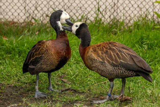 Par de gansos canadenses fofos em uma área gramada