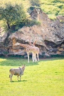 Par de girafas ao lado de elands antílopes