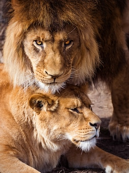 Par de leões adultos.