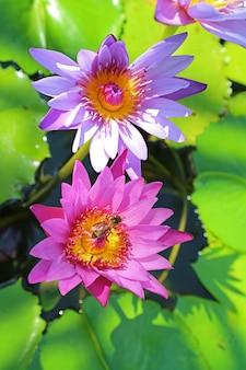 Par de nenúfares rosa vibrante e roxo com uma abelhinha coletando néctar de bangkok