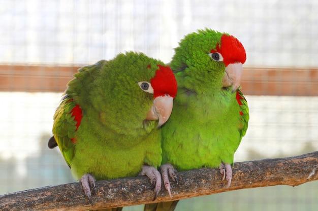 Par de papagaio verde