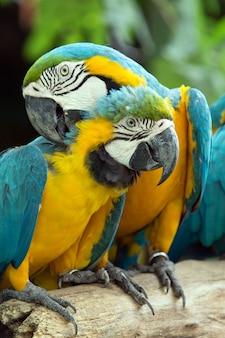 Par de papagaios araras coloridas