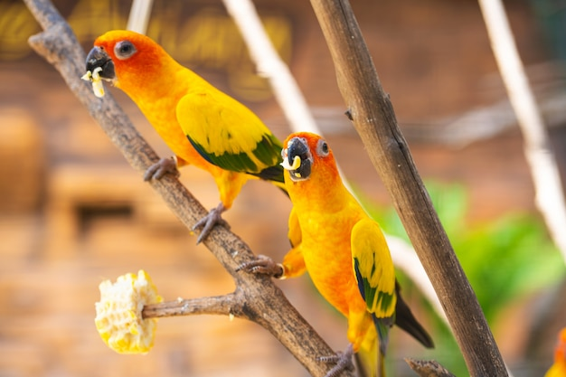 Par de papagaios comendo milho em um galho