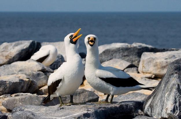 Par de pássaros-booby brancos mascarados sentados nas rochas contra o oceano azul