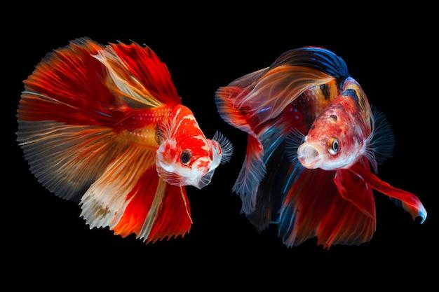 Par de peixe betta em preto