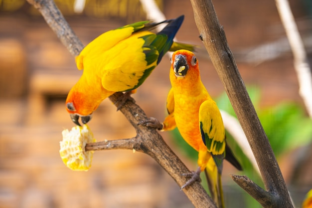 Par de periquito um laranja brilhante papagaios comendo milho. observação de pássaros