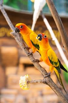 Par de periquito um laranja brilhante papagaios comendo milho.