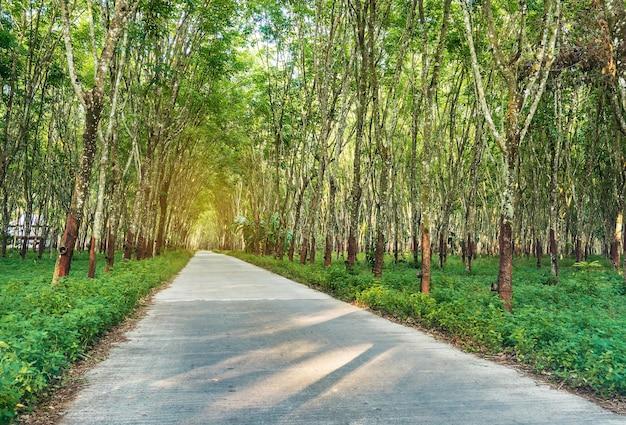 Para-borracha, plantação de borracha látex e borracha de árvores