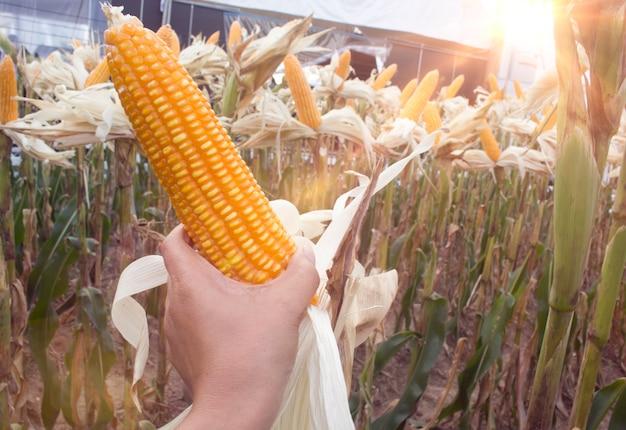Para usar milho na fazenda.