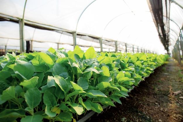 Parcelas de vegetais orgânicos estão crescendo em estufas com luz solar.