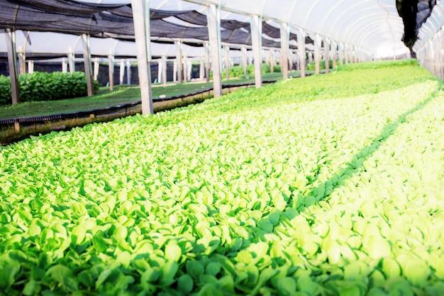 Parcelas de vegetais orgânicos verdes na fazenda com luz solar.