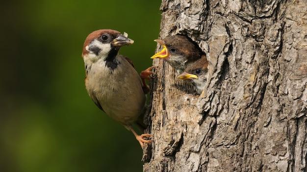 Pardal da árvore euro-asiática sentado na árvore com seu ninho e alimentando seu filho
