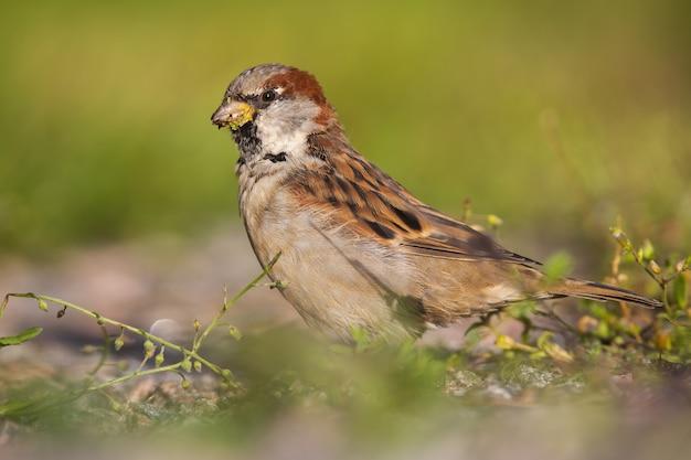 Pardal-doméstico masculino, alimentando-se de sementes de grama e sentado no chão no verão
