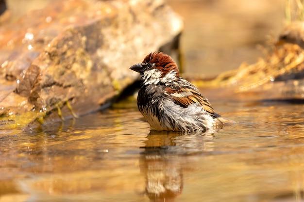 Pardal marrom lindo tomando banho