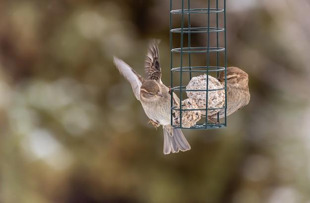 Pardal ou pássaro comedor de tentilhões