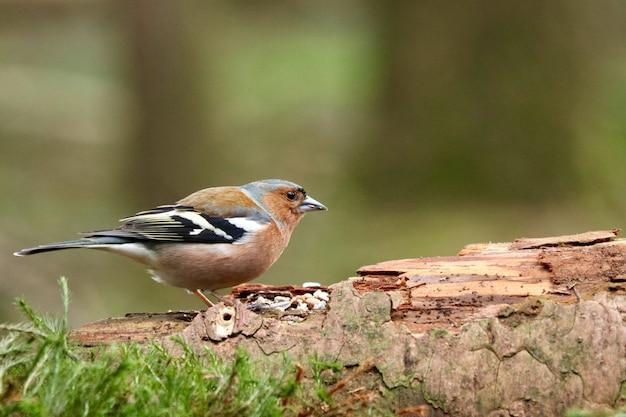 Pardal-pardo marrom bonito em uma madeira