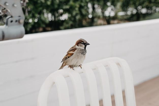 Pardal sentado em uma cadeira em um café de rua. pássaro da pequena cidade ao ar livre. fechar-se