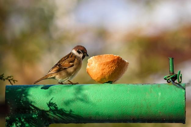 Pardal sentado no tubo e comer o pão