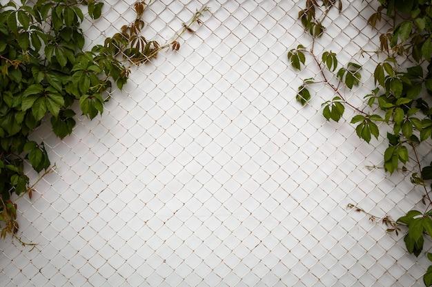 Parede branca do close-up coberta com grade melaica e folhas verdes grales. rede de metal de gaiola de textura isolada em fundo branco com traçado de recorte