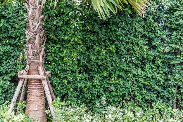 Parede da árvore ou cerca da árvore com a palmeira na natureza. exterior e decoração e conceito de jardinagem.