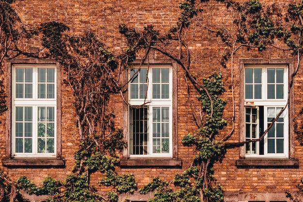 Parede da casa com janelas e trepadeira de hera.