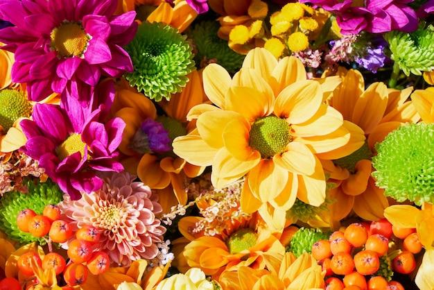 Parede de belas flores roxas e amarelas outonais. flores coloridas de crisântemo. vista do topo