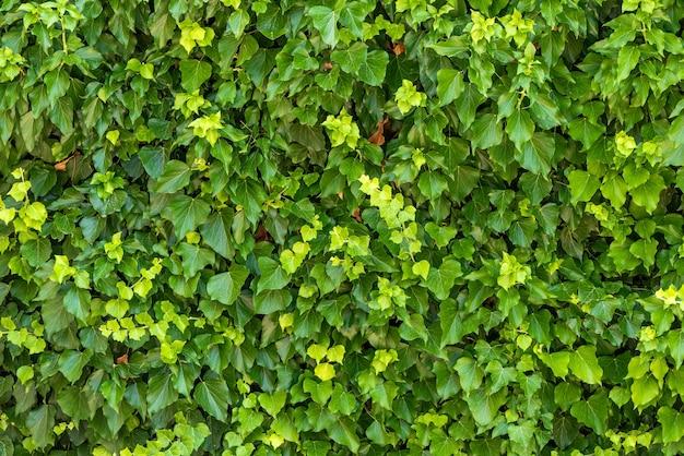 Parede de folha de cerca viva verde natural, fundo de textura de ivy