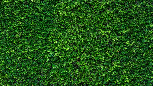 Parede de textura de folha de hera verde no jardim para e espaço de cópia.