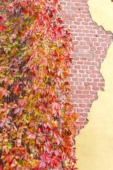 Parede de tijolo arruinada velha e uvas selvagens. outono. folhas coloridas.
