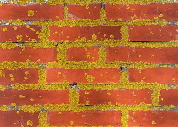 Parede de tijolo vermelho velha coberta de musgo amarelo