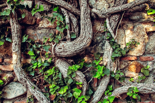 Parede de tijolos antigos com raízes de árvores, plano de fundo