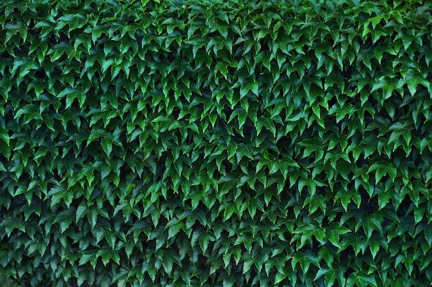 Parede uniformemente coberta com folhas brilhantes de hera Foto Premium