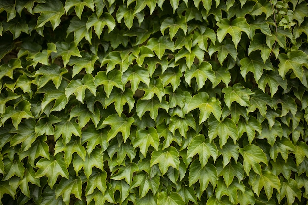 Parede verde uva selvagem