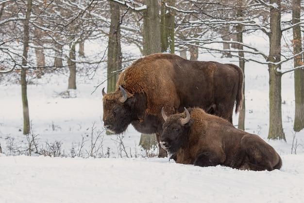 Pares de bisonos europeus, bison bonasus, na floresta no inverno.