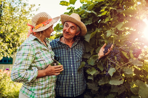 Pares de fazendeiros que verificam a colheita das uvas na exploração agrícola ecológica. feliz, homem sênior, e, mulher, junte colheita