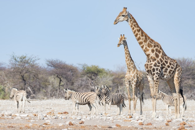Pares de girafa que andam no arbusto na bandeja do deserto, luz do dia. safari da vida selvagem no parque nacional etosha, o principal destino de viagem na namíbia, áfrica.