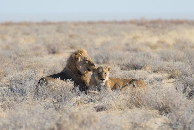 Pares de leões que encontram-se para baixo na terra no arbusto. safári dos animais selvagens no parque nacional de etosha, atração turística principal em namíbia, áfrica.