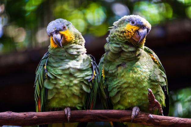 Pares de papagaios no ramo na floresta tropica, brasil.