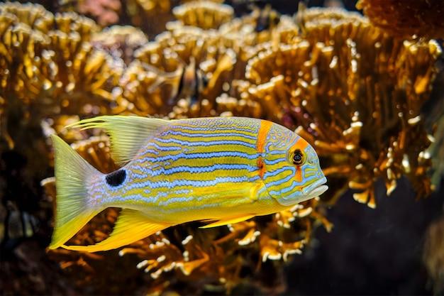 Pargo sailfin symphorichthys spilurus peixe dourada dourada subaquática no mar