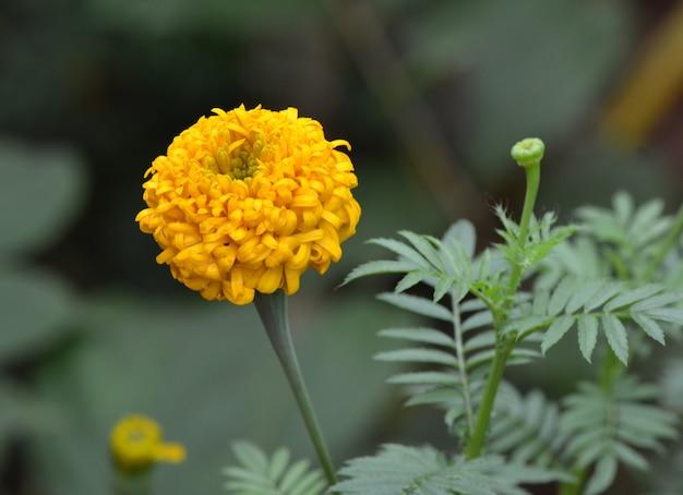 Park, calêndula amarelo brilhante úmido com condensação.
