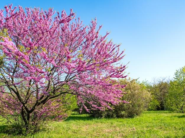 Parque com árvores florescendo e grama verde. fundo de natureza primavera