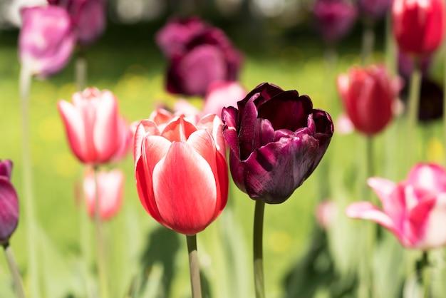 Parque do close-up de duas tulipas na primavera na ilha de elagin, st petersburg.