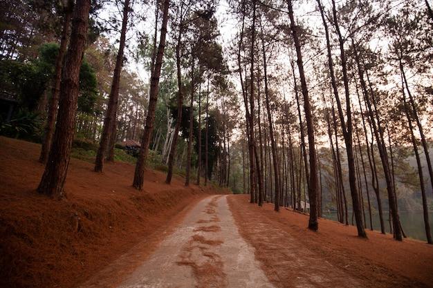 Parque florestal de pinheiros em pang ung (reservatório de pang tong), província de mae hong son, tailândia
