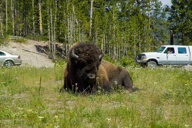 Parque nacional de yellowstone, bison ao longo do rio firehole em yellowstone.