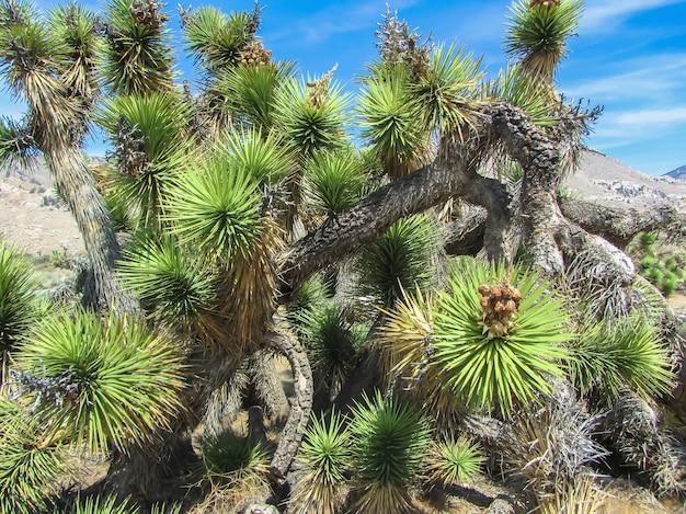 Parque nacional joshua tree, deserto de mojave, califórnia