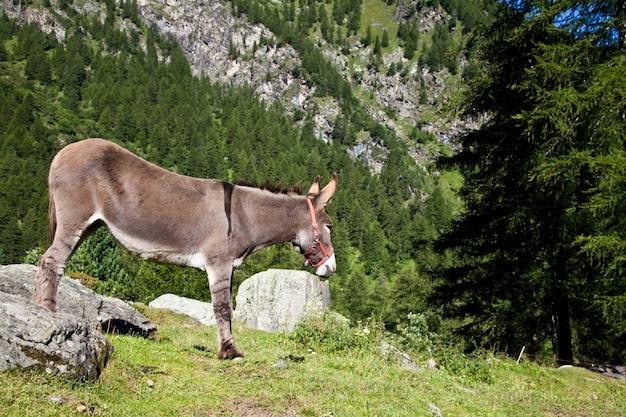 Parque orsiera, região de piemonte, itália: um burro livre no parque