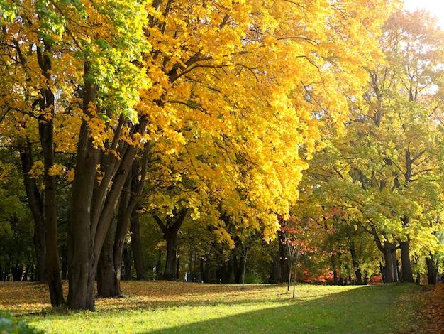 Parque outono com árvores de bordo. folhagem amarela e verde em dia ensolarado. lindo parque colorido de outono