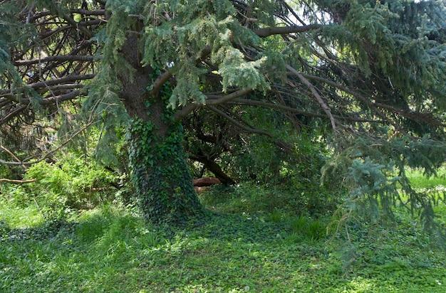 Parte basal do tronco de um antigo pinheiro majestoso.