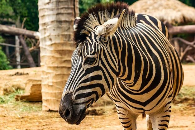 Parte de trás de uma zebra andando
